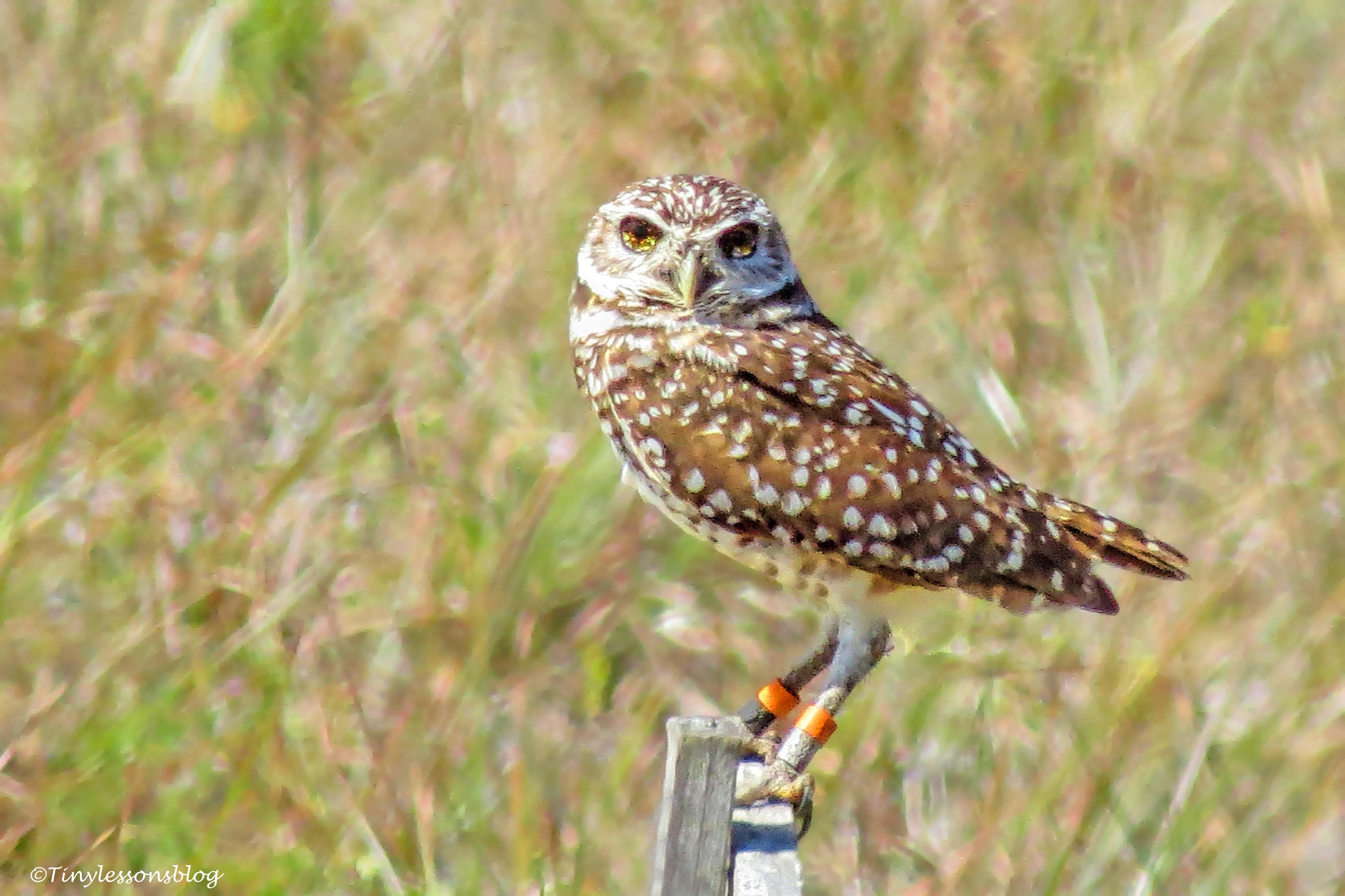 Black-eyed burrowing owl UD152_edited-2