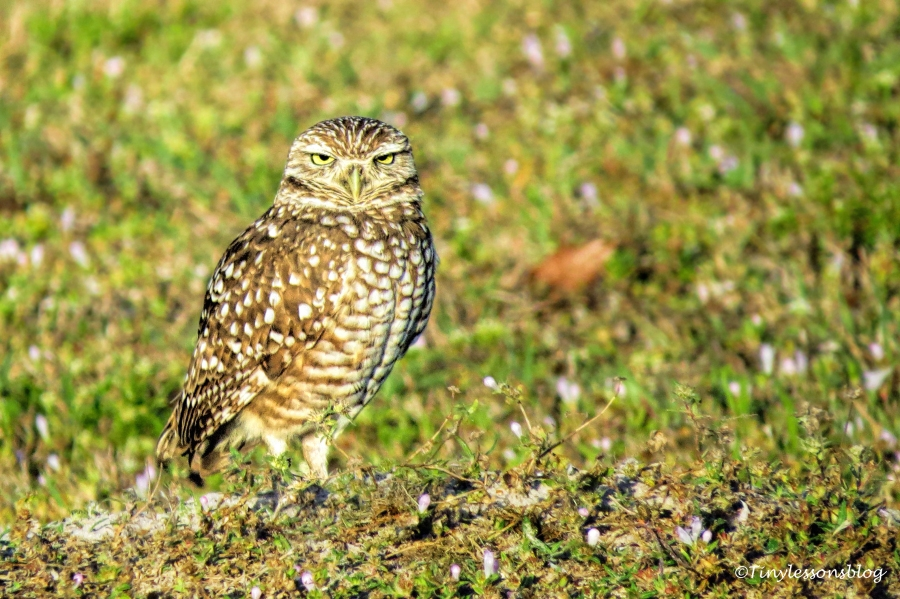 burrowing owl 3 UD152_edited-1
