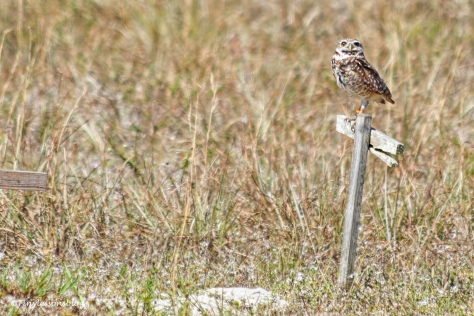 burrowing owl at his burrow UD152