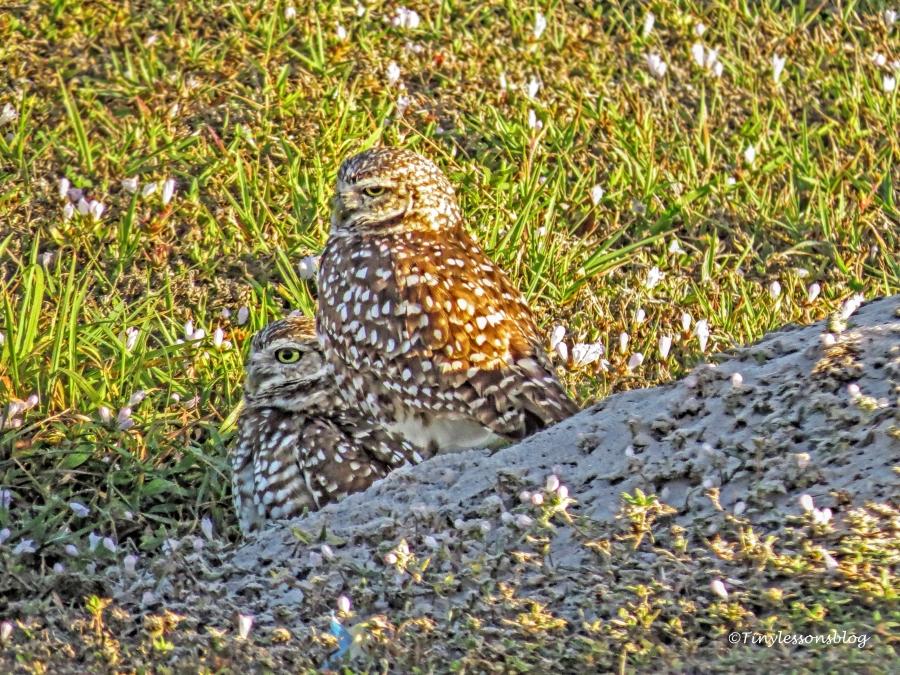 burrowing owl couple ud152