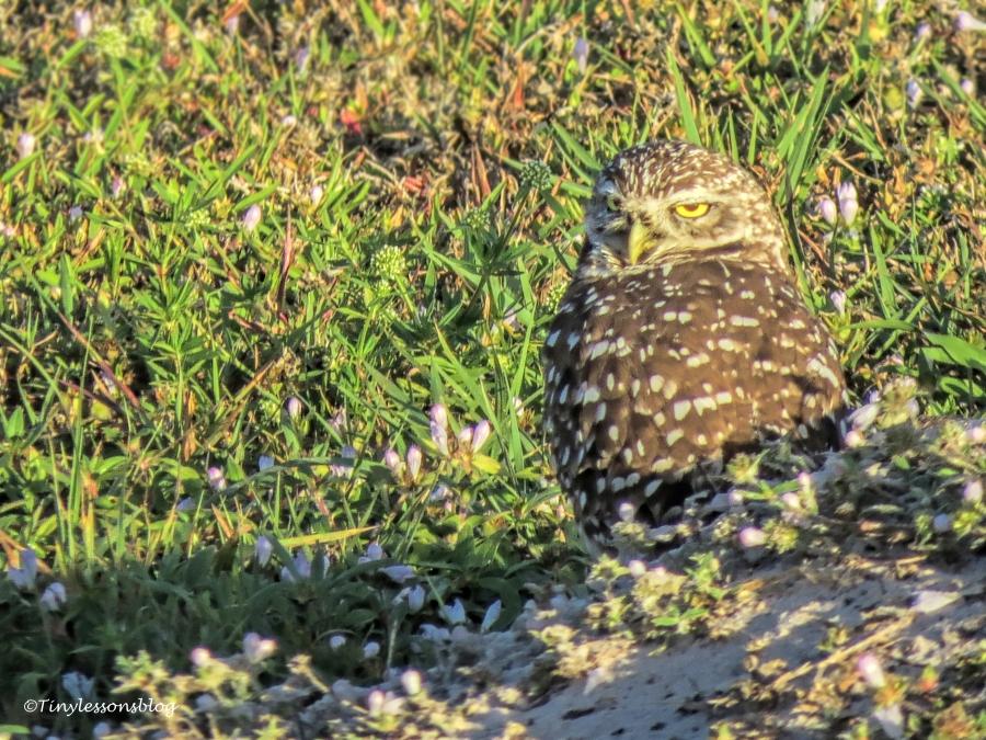 burrowing owl male UD152