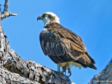 Daddy Osprey in the new nest UD154