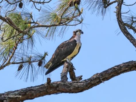female osprey HMI UD154