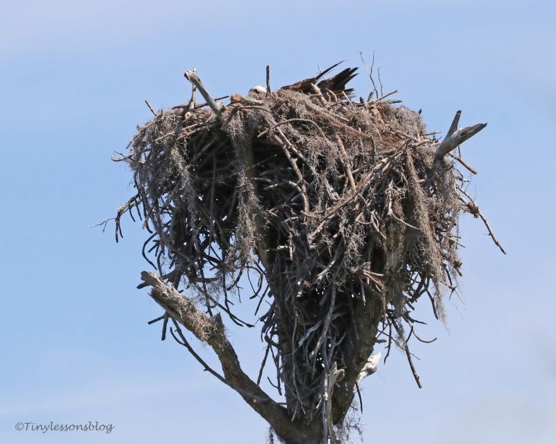 female osprey incubates HMI UD154