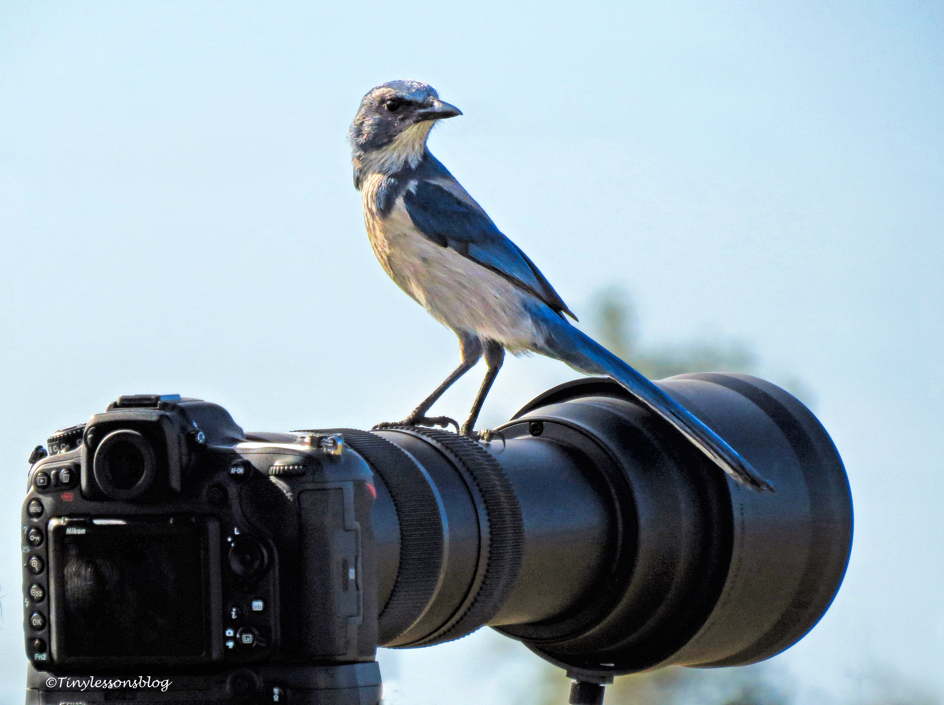 Florida Scrub Jay on Camera UD152