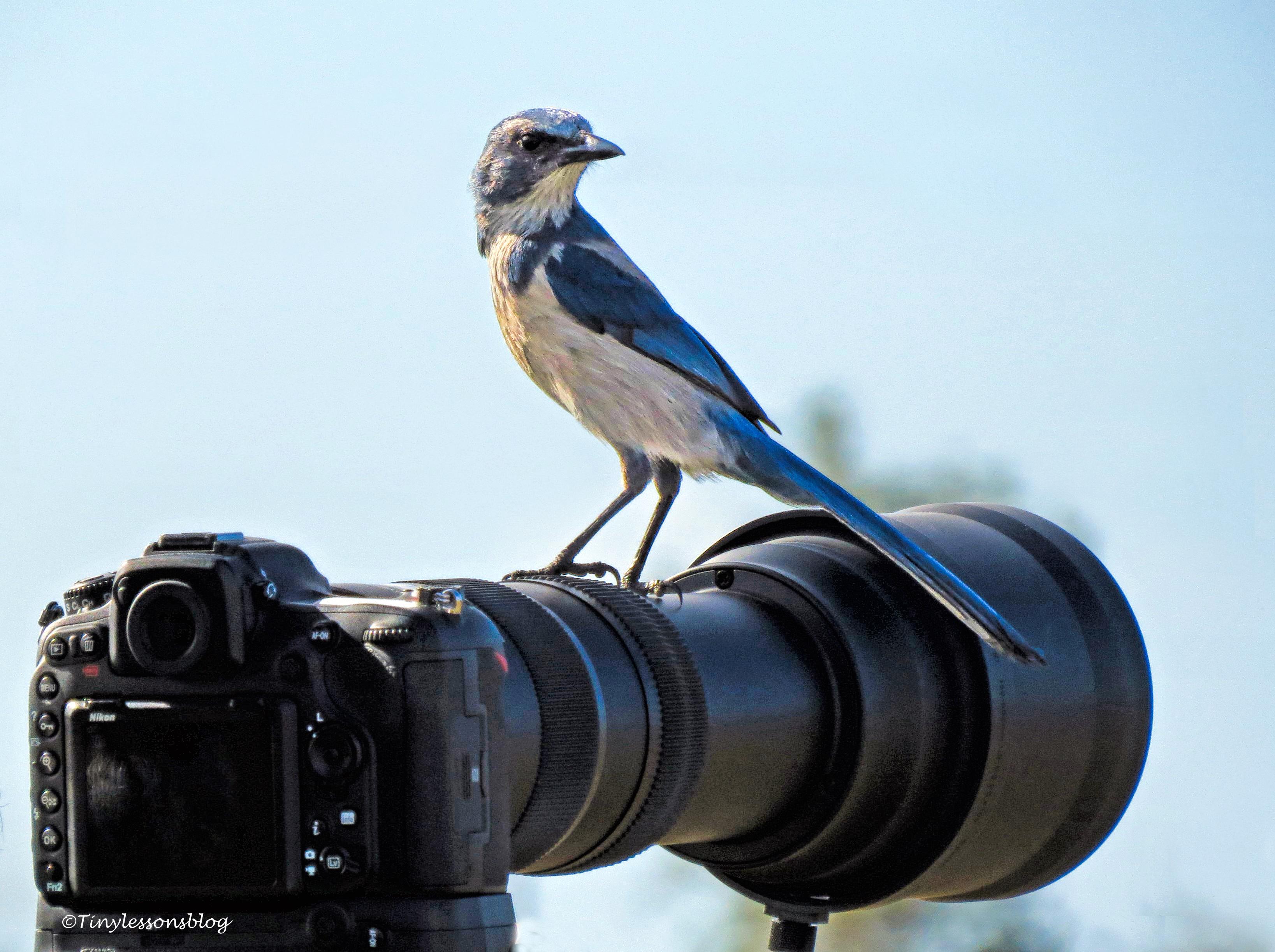Florida Scrub Jay on Camera UD152