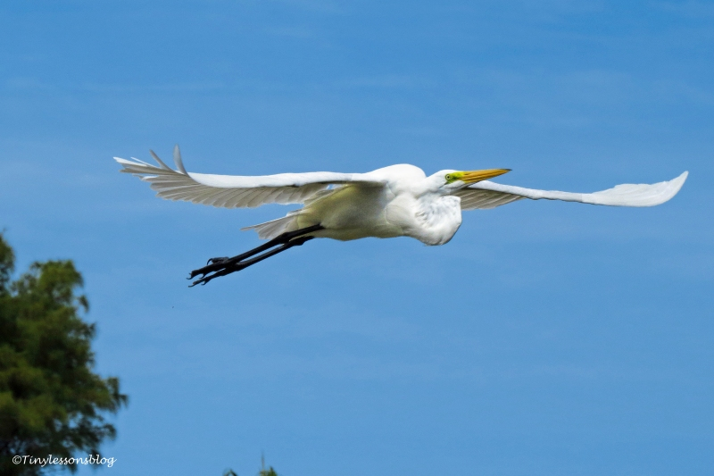 great egret flying UD153