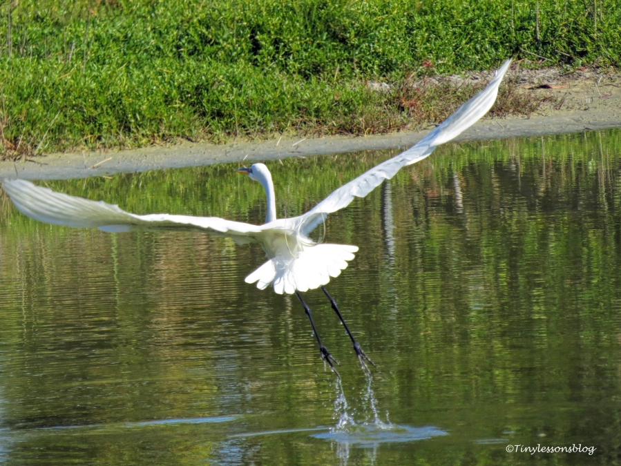 great egret in flight ud153