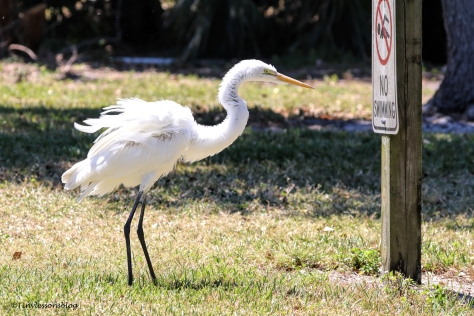 great egret read a sign ud155