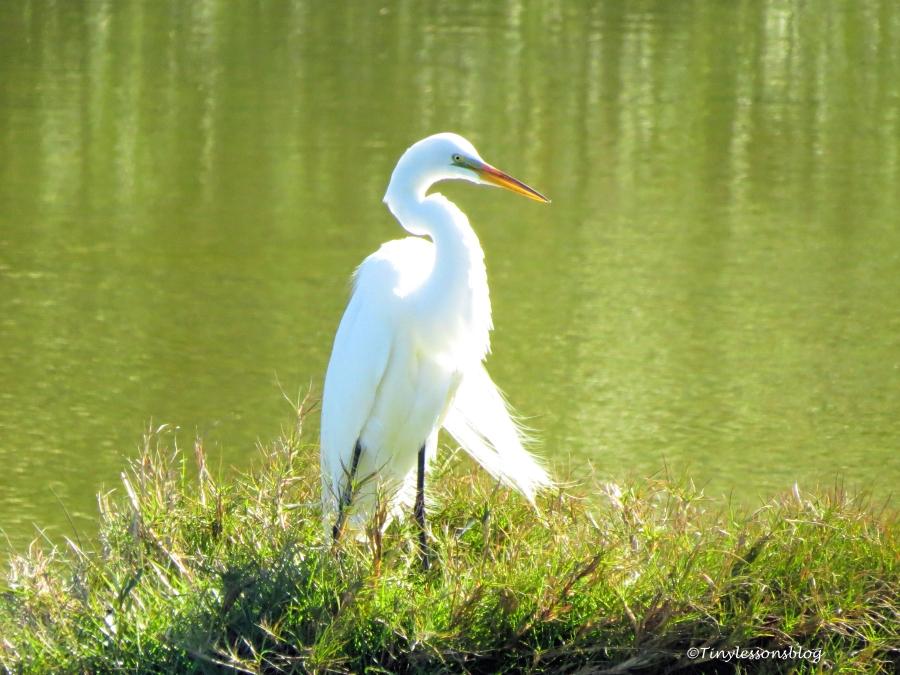 great egret ud153