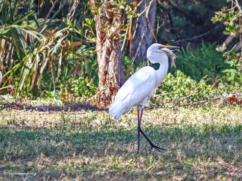 great egret with a fish ud155
