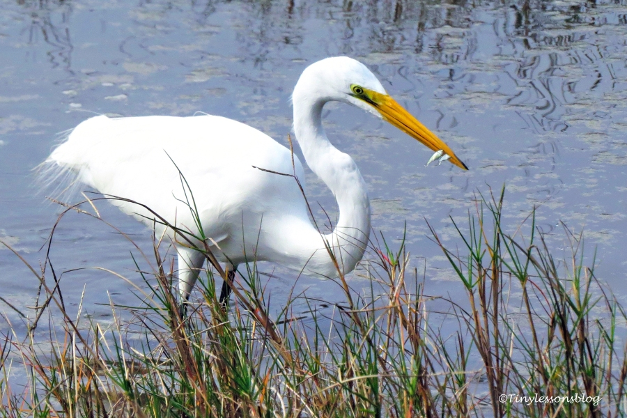 great egret with two fish UD153