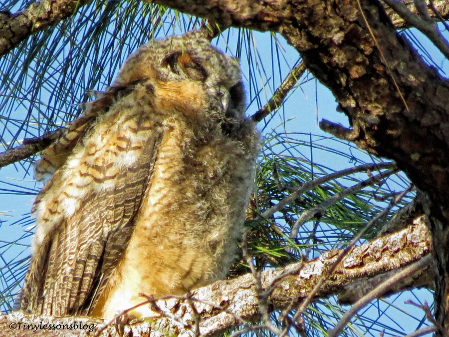 great-horned owl baby is sleeping UD152