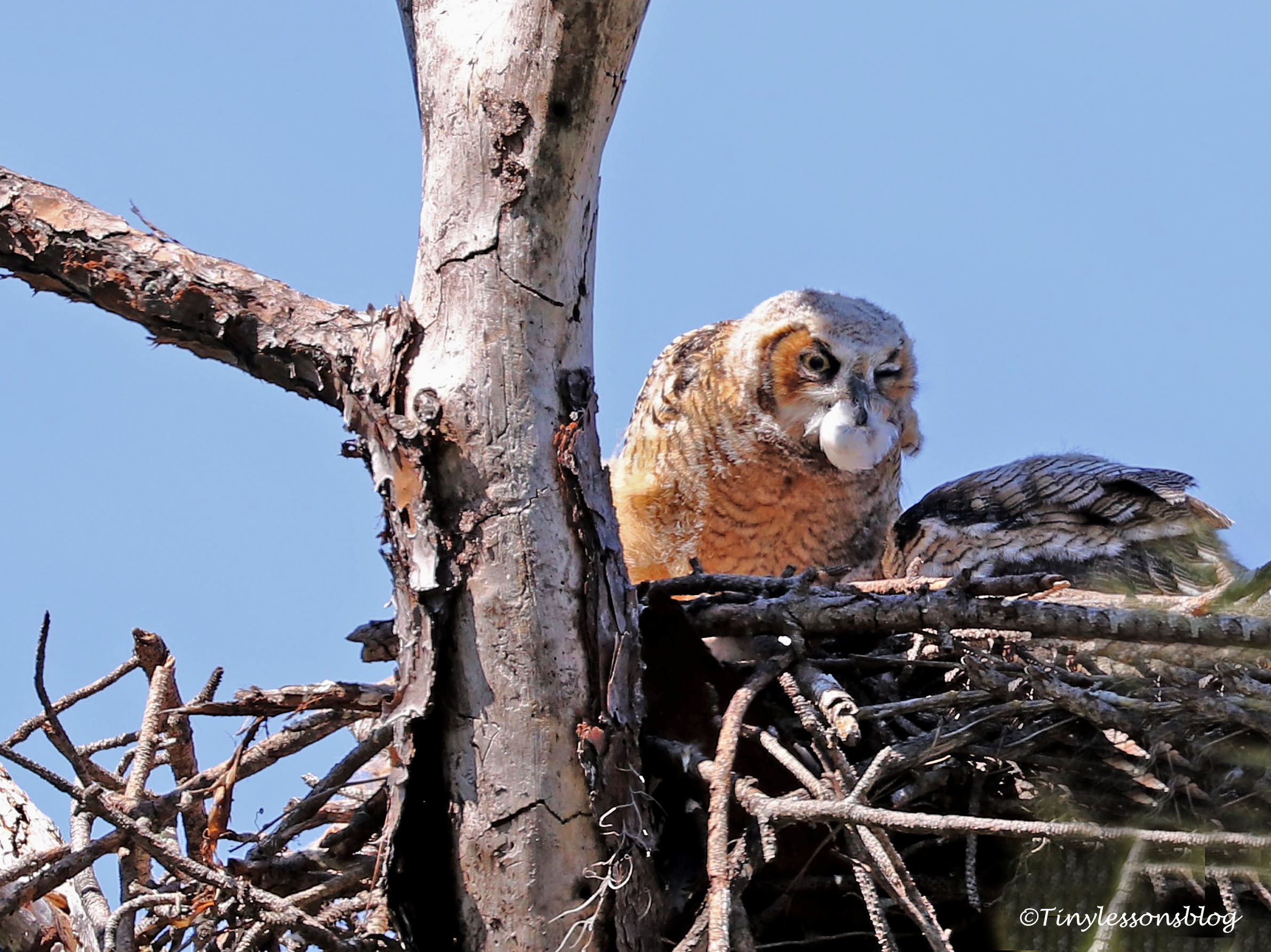 Great-horned Owl chicks at HMI UD154