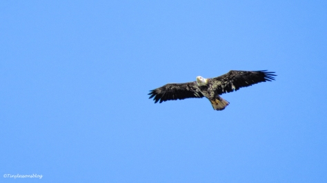 Juvenile Bald Eagle UD152
