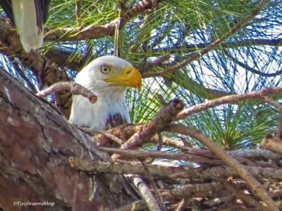 mama bald eagle UD152