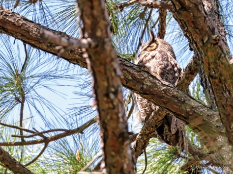 Mama Great-horned Owl HMI UD154