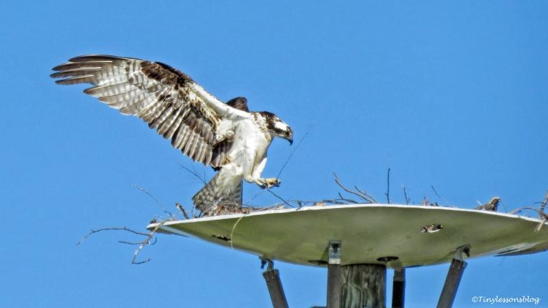 mama osprey arrives back ud153