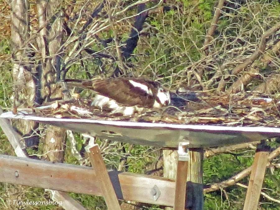 mama osprey attends to chick ud155