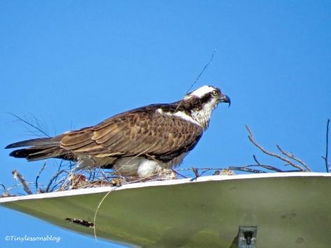 mama osprey back at the nest ud153