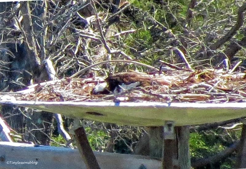 mama osprey feeds hatchling ud155