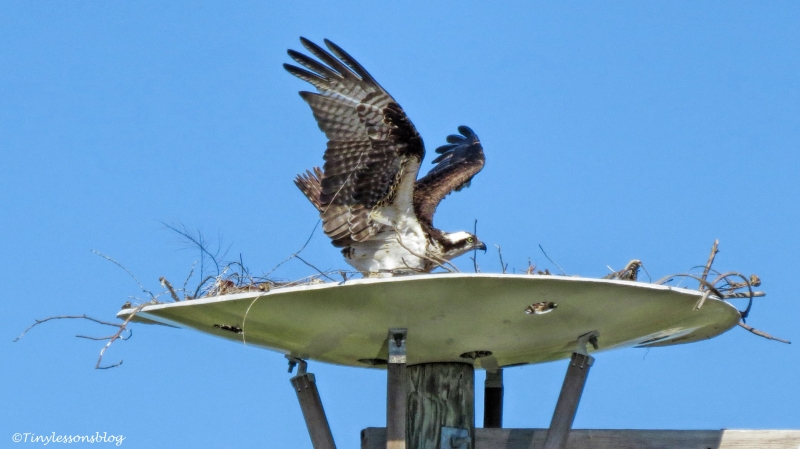mama osprey gets up and flies UD153