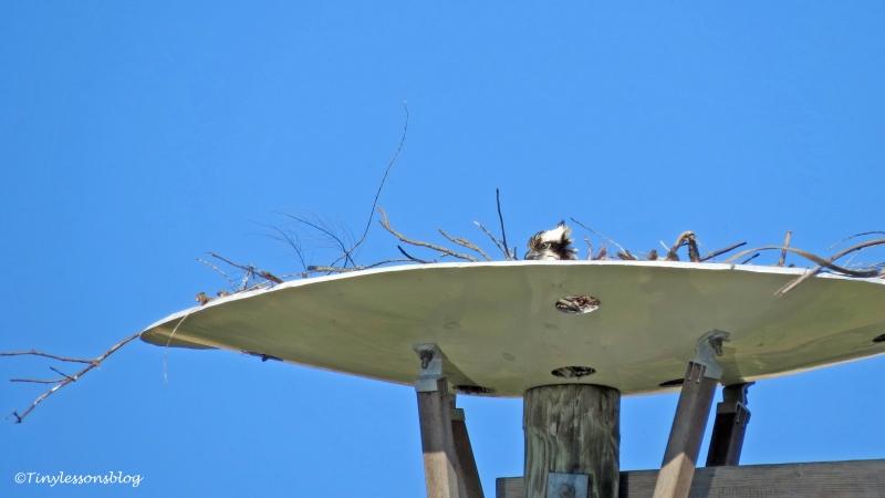 mama osprey incubiting ud153