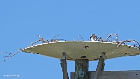 mama osprey UD155 9x16