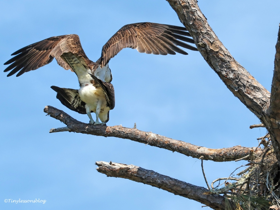 mating young ospreys HMI UD154