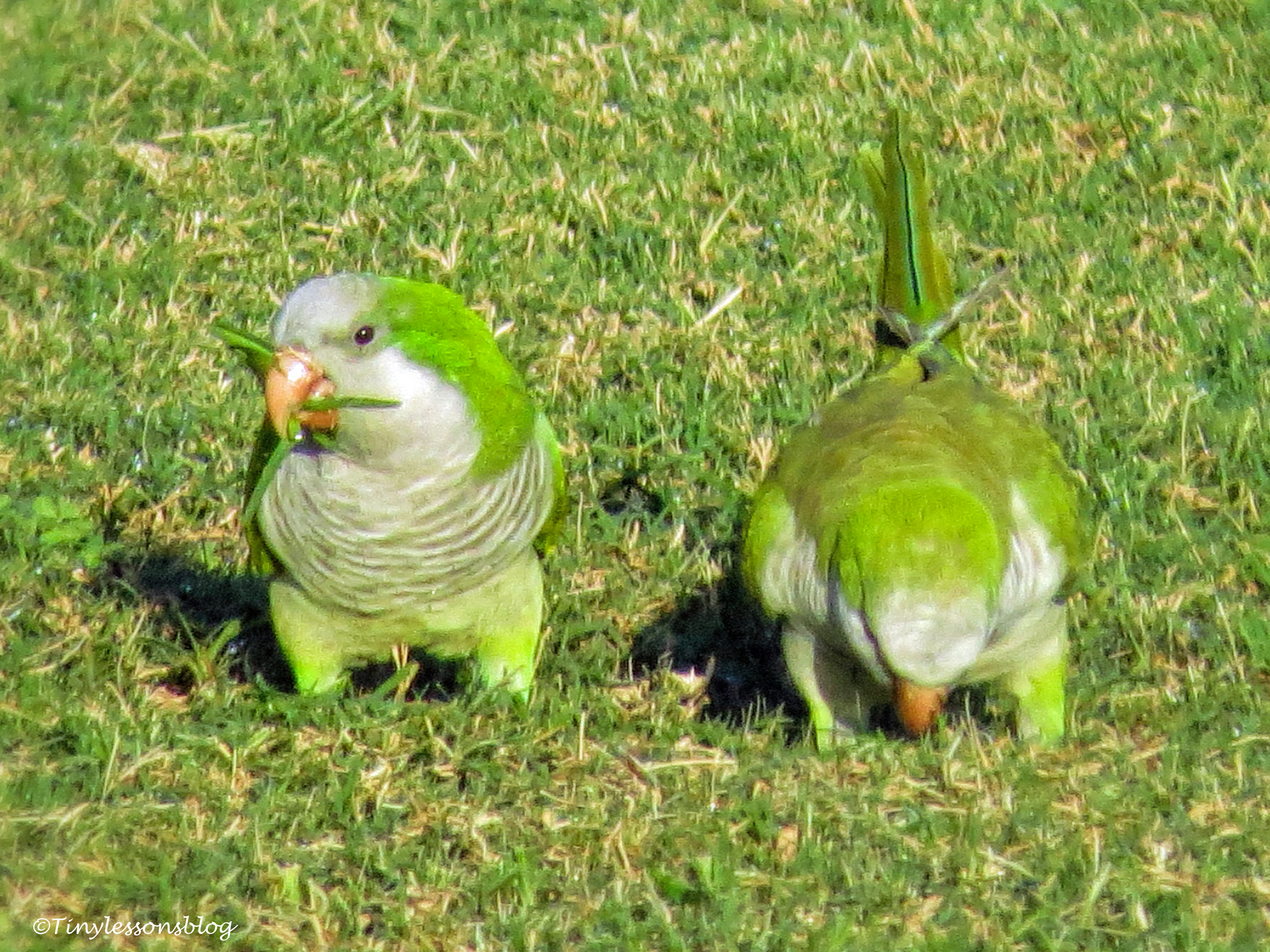 monk parakeets ud152
