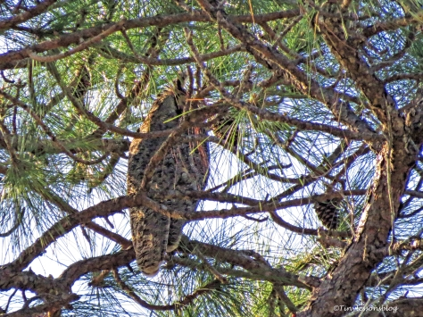 Mother Great-horned Owl UD152_edited-1