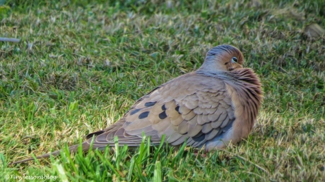 mourning dove ud153