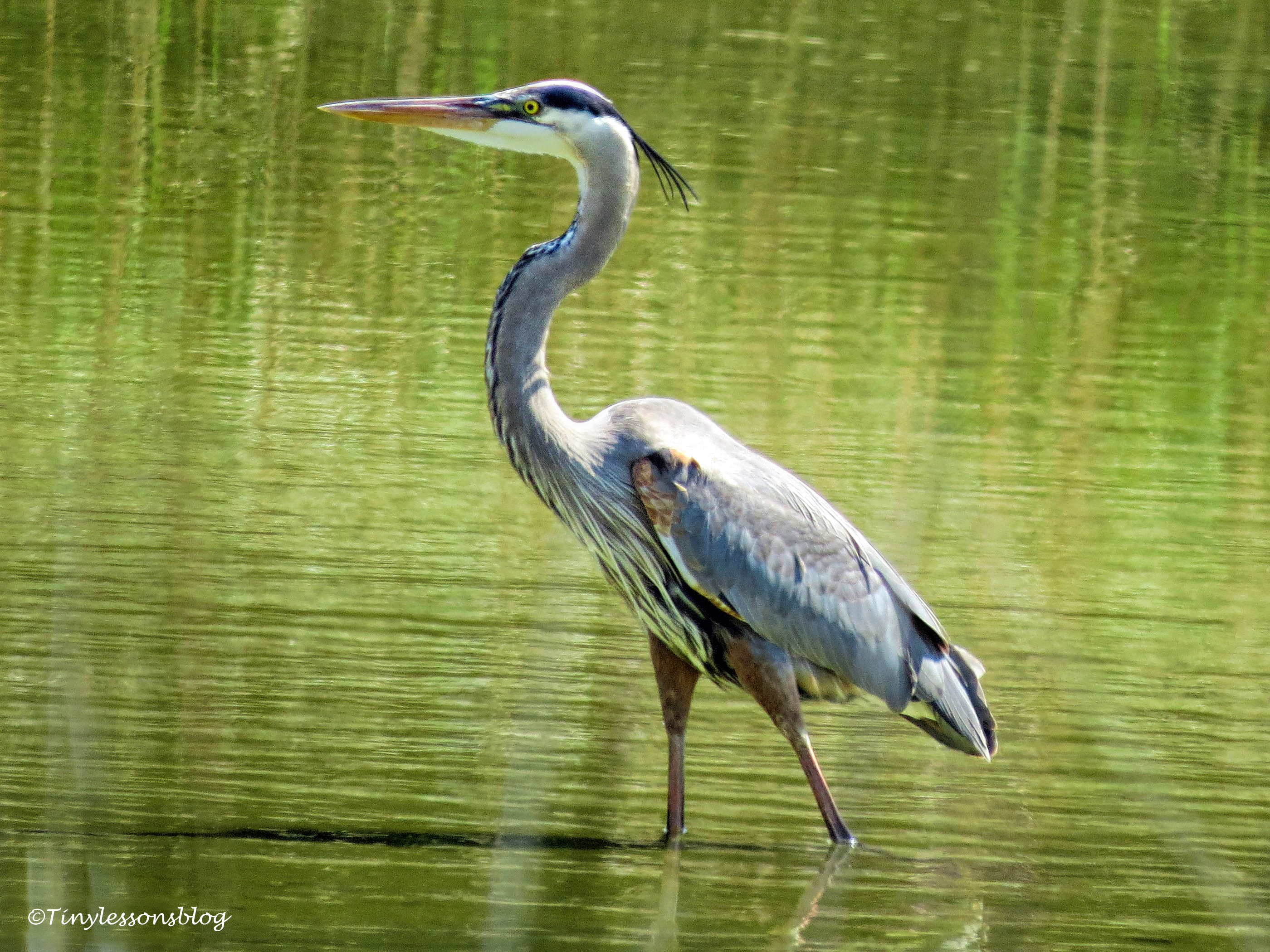 mr mayor great blue heron ud153