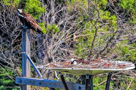 ospreys still incubating UD153_edited-2