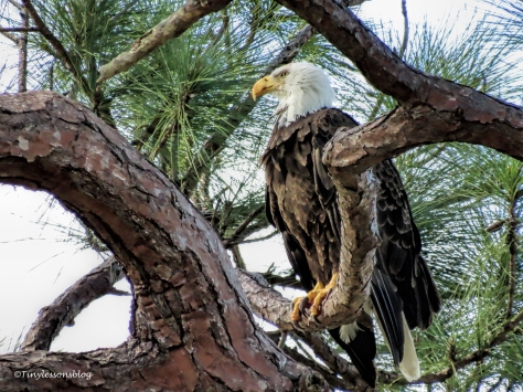 papa bald eagle UD152
