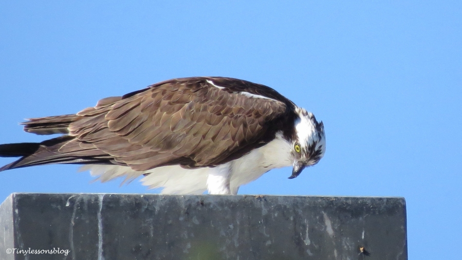 papa osprey continues to eat ud153
