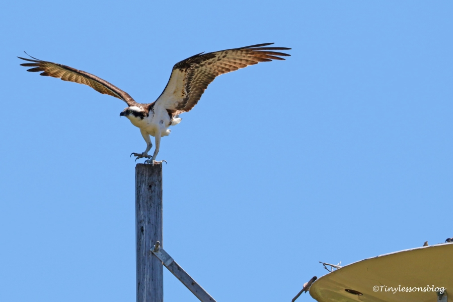 papa osprey lands at the nest UD155
