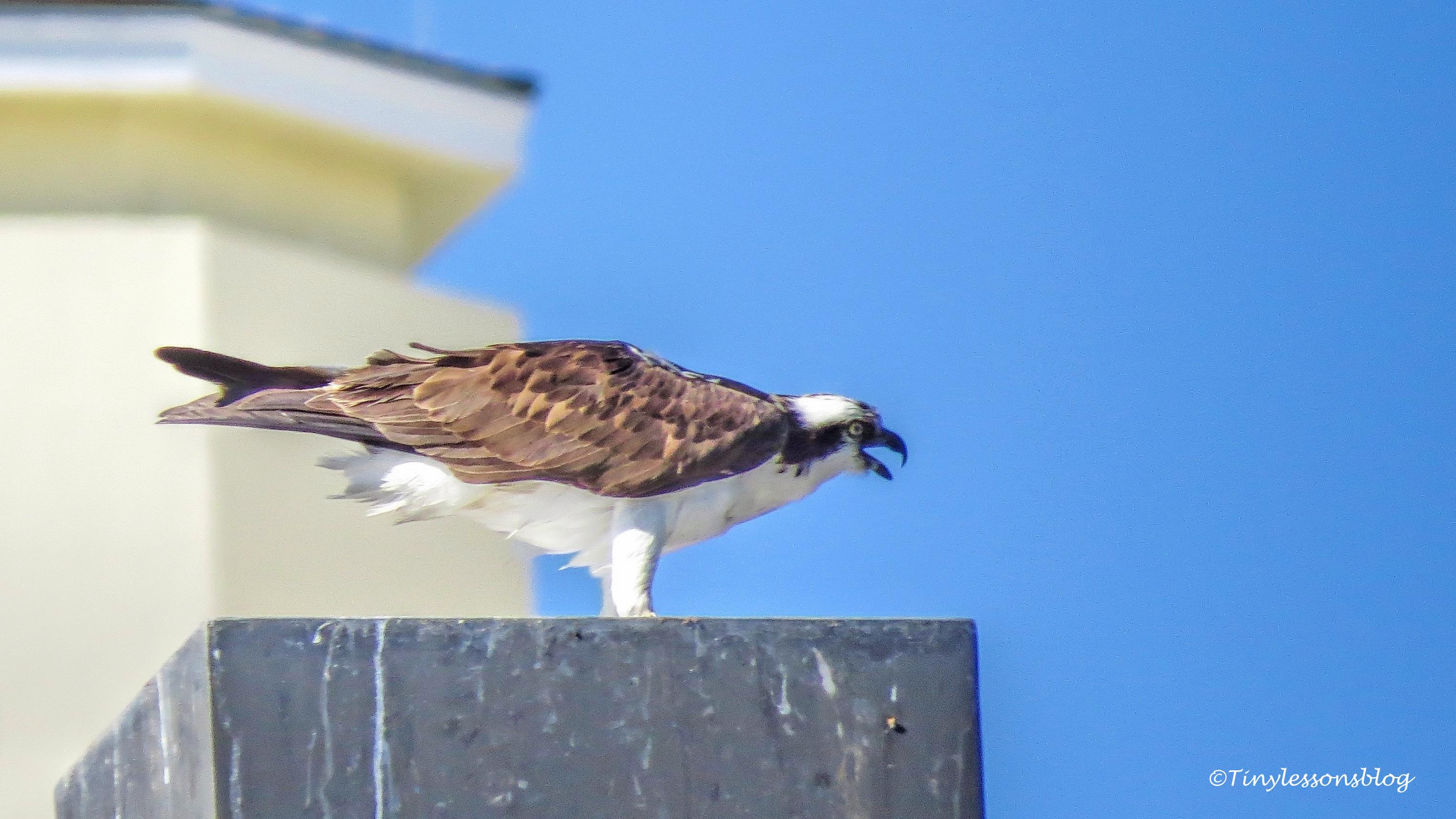 papa osprey sounds alarm ud153