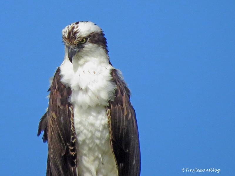 papa osprey ud155