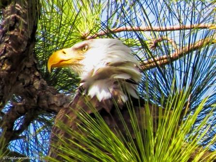 portrait of Papa Eagle UD152