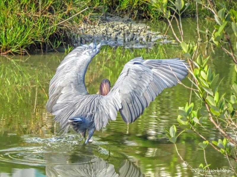 Reddish Egret hunting UD155