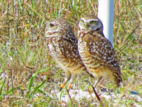 second burrowing owl couple UD152
