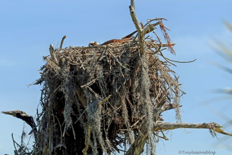 second osprey nest female incubating HMI ud154