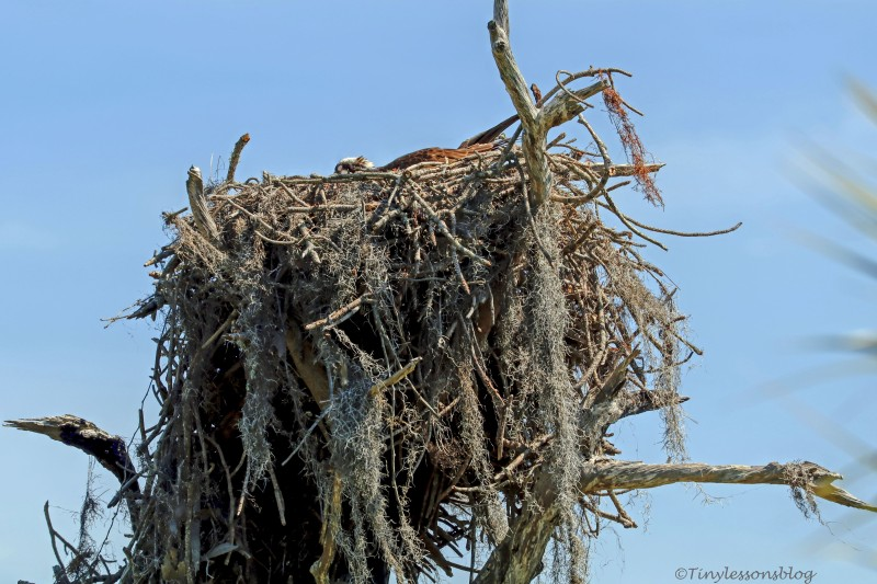 second osprey nest female incubating HMI ud154