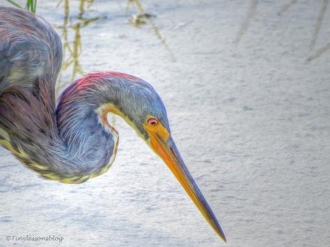 tri-colored heron Sand Key Park AHK UD155