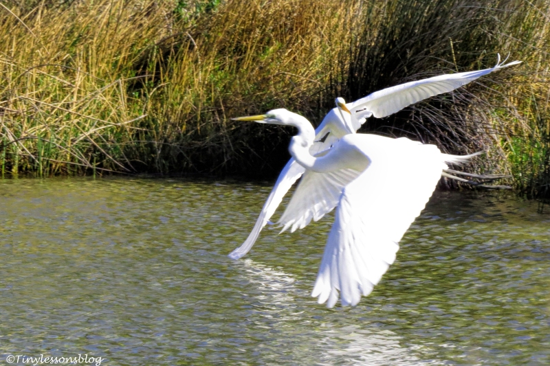 Two Great Egrets fly together ud153