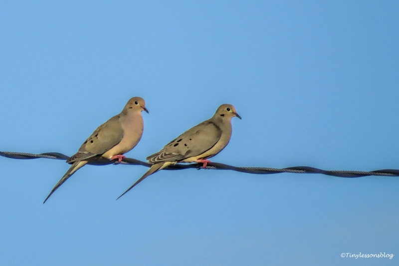 twp mourning doves ud152