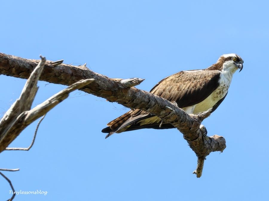 young female osprey hmi ud154