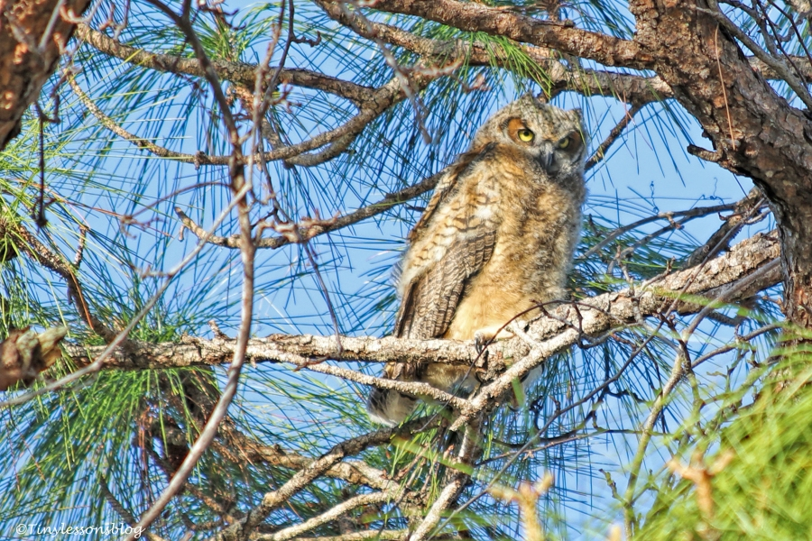 young Great-horned Owl UD152