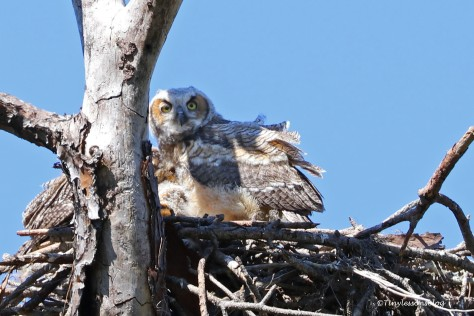 Younger owlet UD154